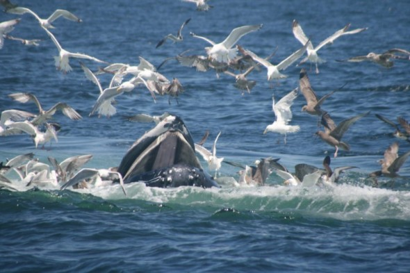 Humpback Whales feeding at Stellwagen Bank (photo: Arnold Rots)